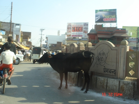 Sacred cow in Varanasi