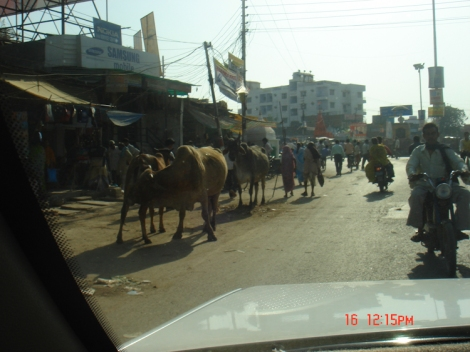 cows in the middle of the road